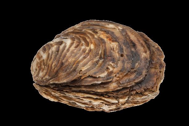 Huîtres Plates Belon de Bretagne