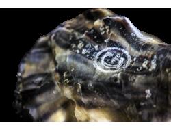 Huîtres Spéciales Gillardeau